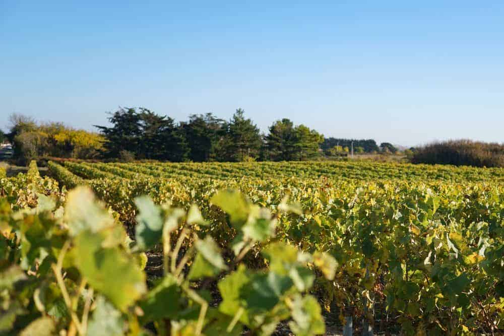 Vineyards oleron island, France