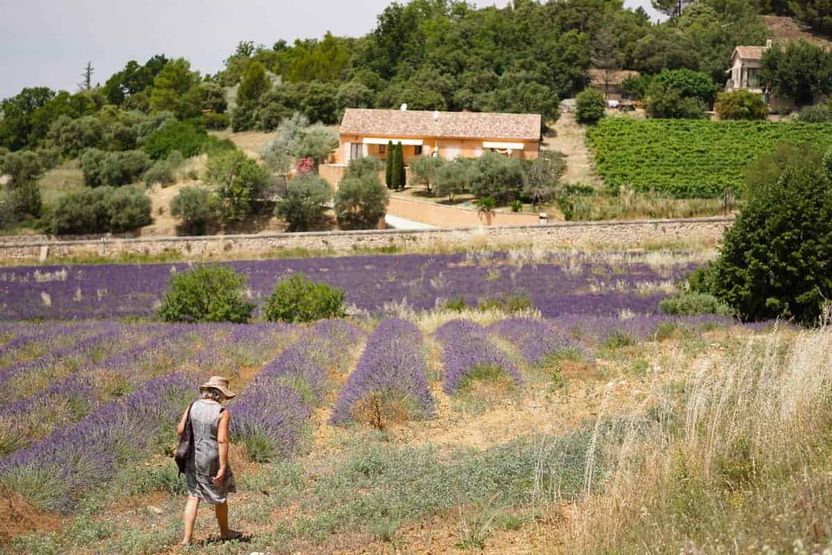 Lavender fields around Rustrel, France
