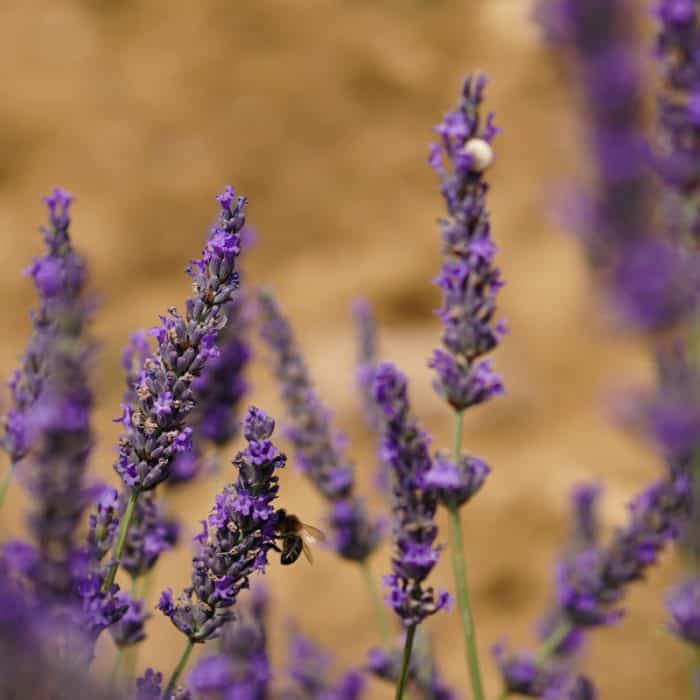Lavender Museum in Provence