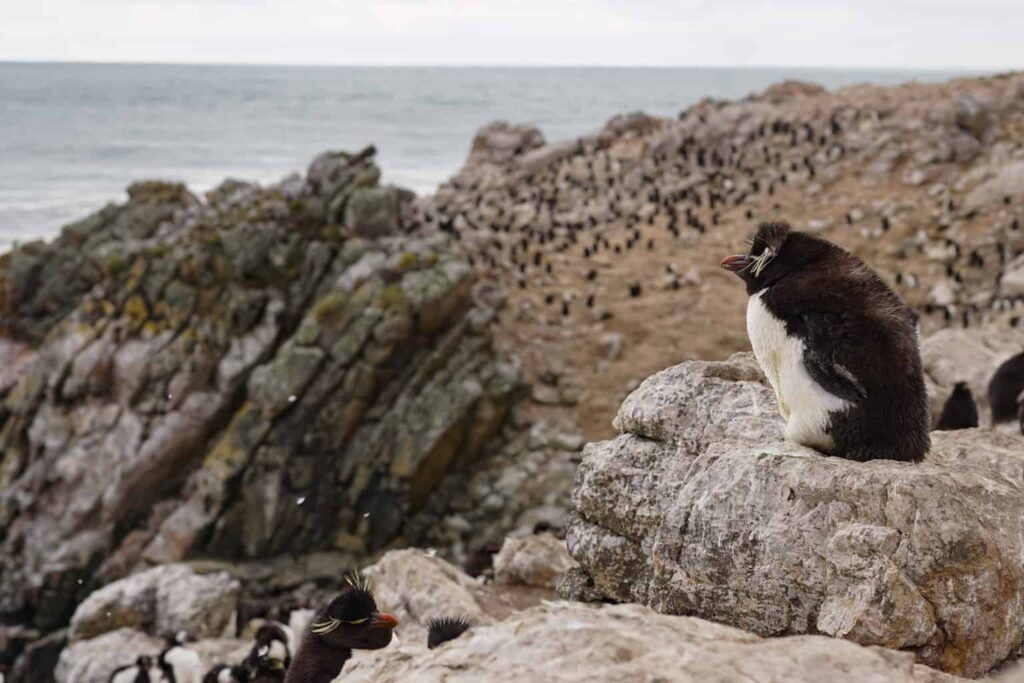 Rockhopper penguins in the Falkland Islands. Best place to see penguins in the wild.