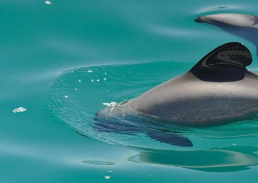 Swimming with dolphins Akaroa, New Zealand. Best place to swim with dolphins in New Zealand.