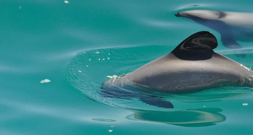 swimming with dolphins akaroa new zealand a bucket list experience