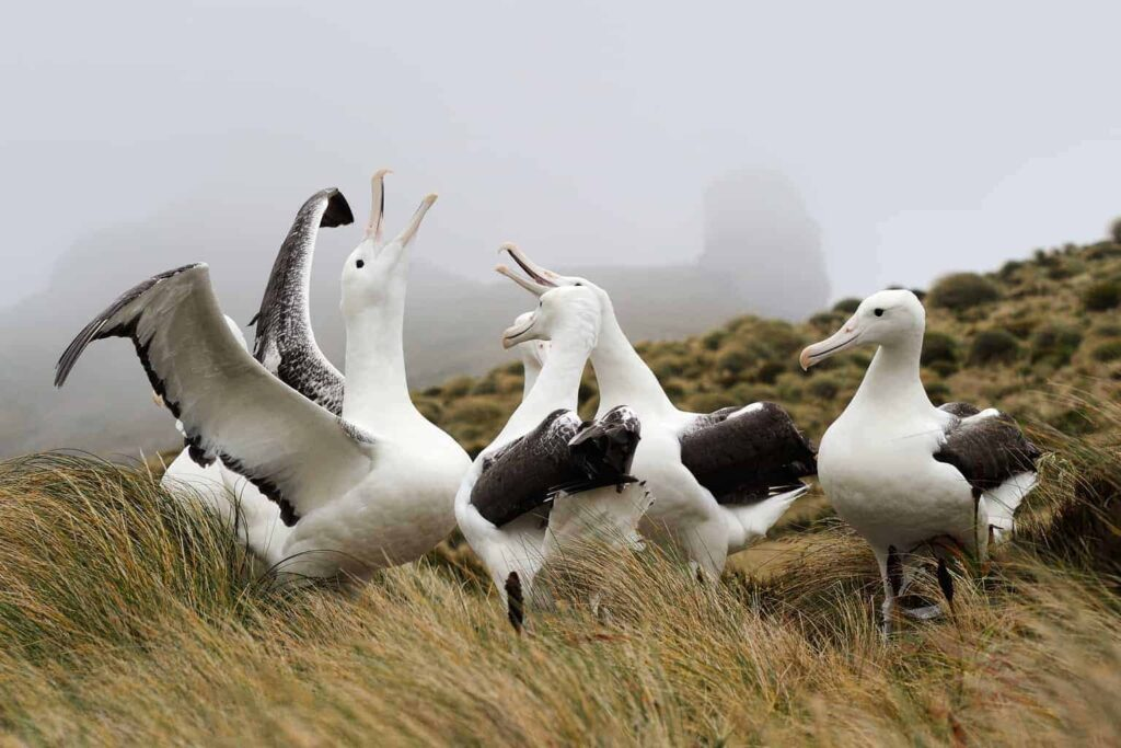 The Royal Albatross Colony near Dunedin is one of the top things to do in New Zealand