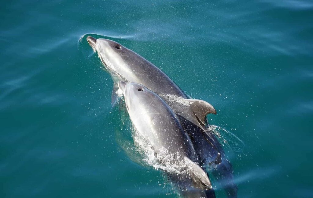Swimming with Hector's Dolphins in New Zealand. Things to do in New Zealand