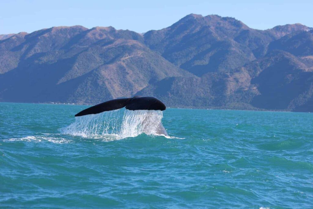 Whale watching in Kaikoura, New Zealand is an incredible experience.