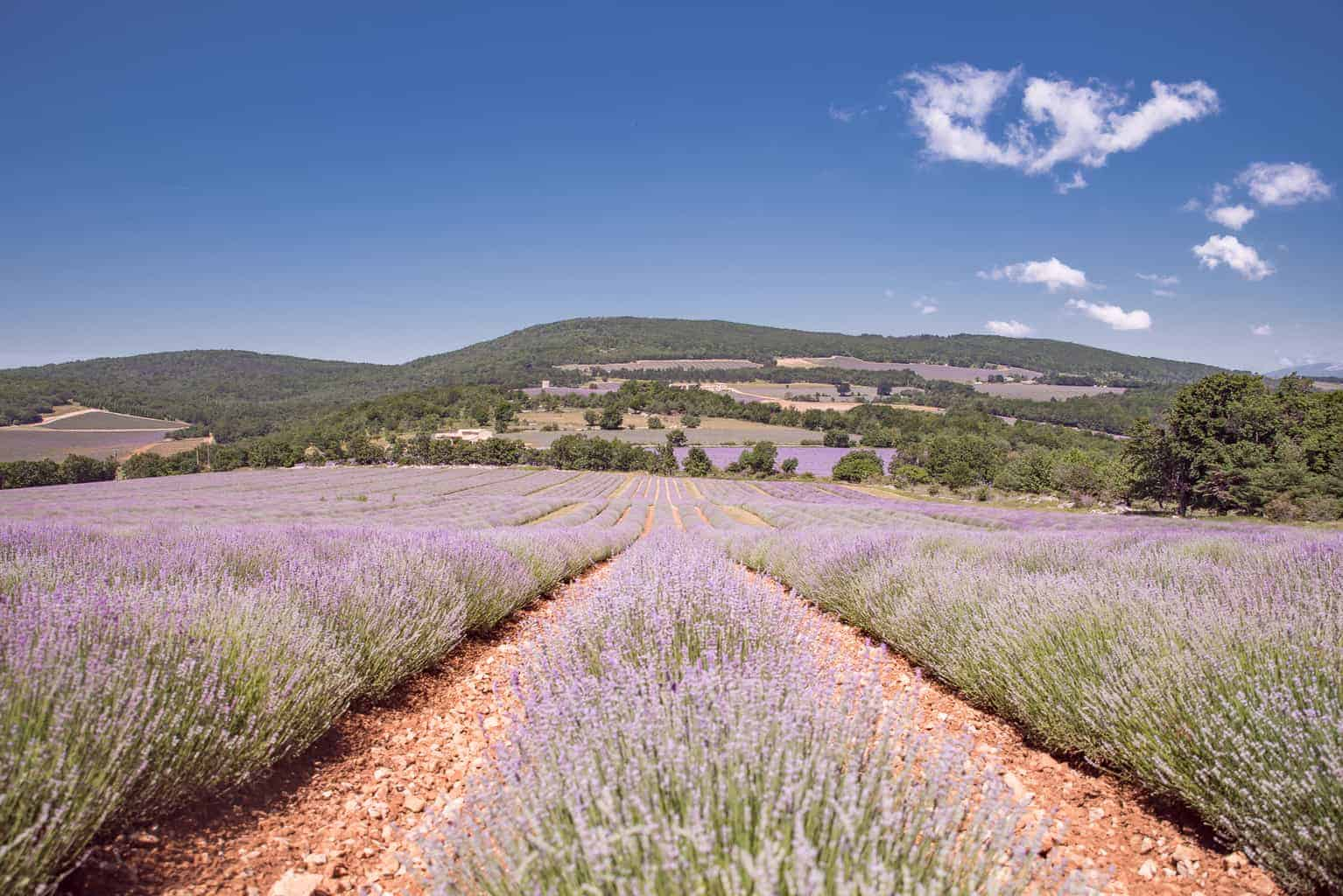 Lavender fields of Chateau du Bois.
