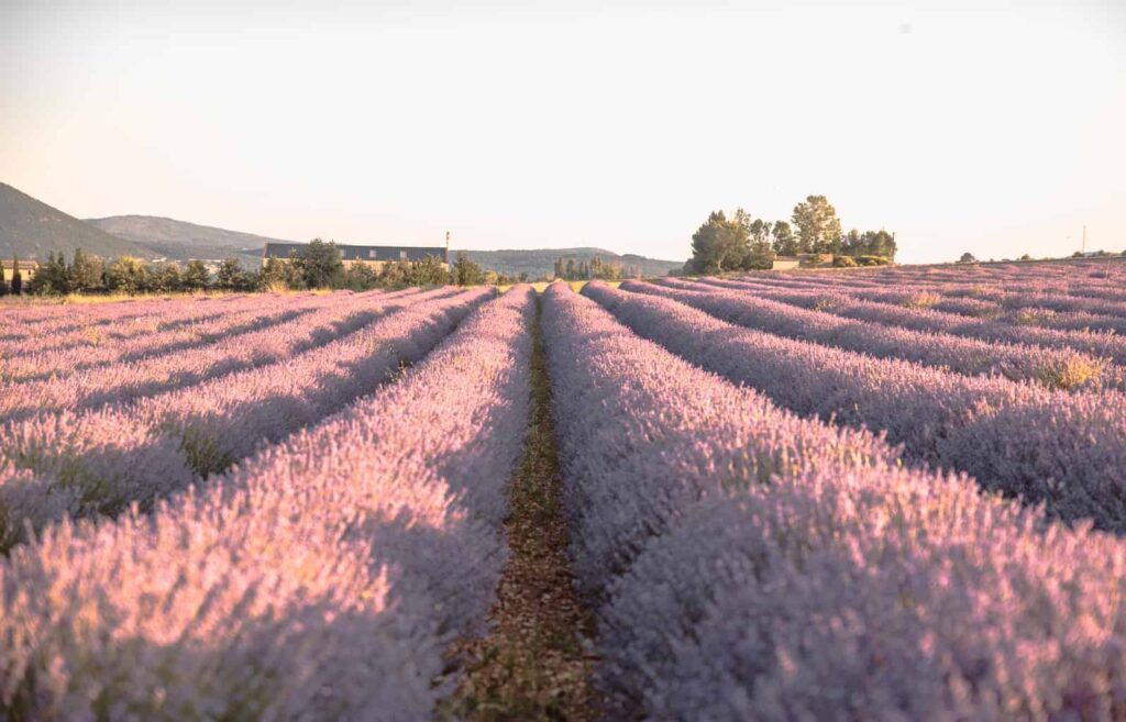 Lavender Fields France Map.An Inside Guide To The Best Lavender Fields Of Provence France