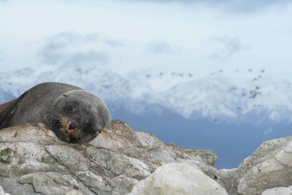 Ohau Point in Kaikoura is a great place to visit marine mammals in New Zealand.