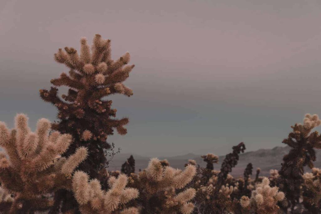 Cholla Cactus Garden Trail - Joshua Tree with Kids