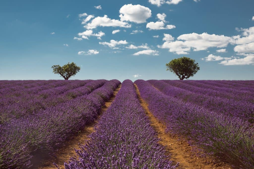 The lavender fields of Provence are French bucket list material