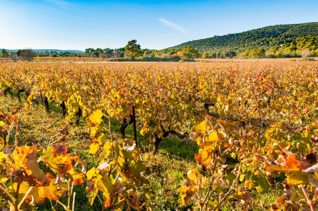 Vineyard field in Provence, in Gareoult near Brignoles